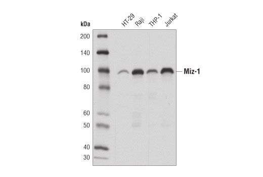 Western blot analysis of extracts from various cell lines using Miz-1 (D7E8B) Rabbit mAb.