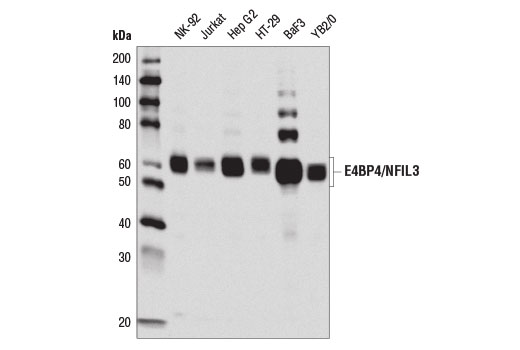 Western blot analysis of extracts from various cell lines using E4BP4/NFIL3 (D5K8O) Rabbit mAb.