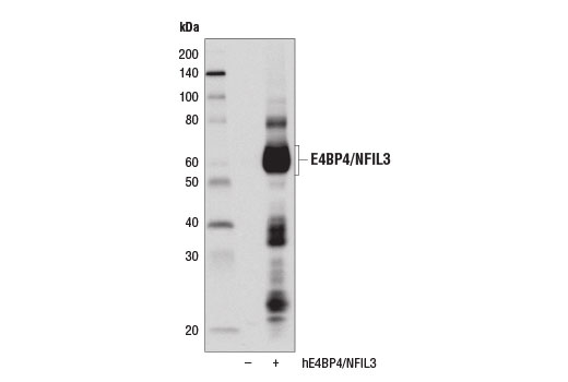 Western blot analysis of extracts from 293T cells, mock transfected (-) or transfected with a construct expressing full-length human E4BP4/NFIL3 (hE4BP4/NFIL3, +), using E4BP4/NFIL3 (D5K8O) Rabbit mAb.