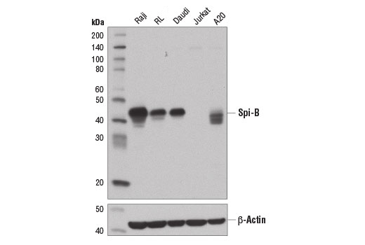 Western blot analysis of extracts from various cell lines using Spi-B (D4V9S) Rabbit mAb (upper) and β-Actin (D6A8) Rabbit mAb #8457 (lower).
