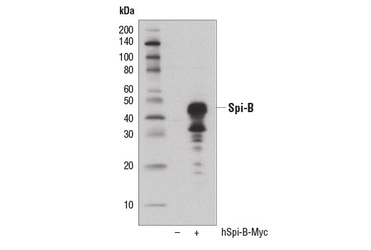 Western blot analysis of extracts from 293T cells, mock transfected (-) or transfected with a construct expressing Myc-tagged full-length human Spi-B (hSpi-B-Myc), using Spi-B (D4V9S) Rabbit mAb.