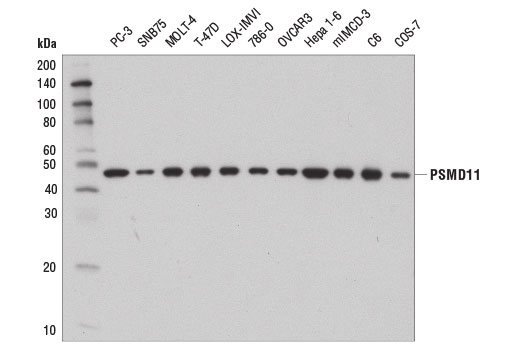 Monoclonal Antibody - PSMD11 (D1T1R) Rabbit mAb - Western Blotting, UniProt ID O00231, Entrez ID 5717 #14303 - Ubiquitin and Ubiquitin-Like Proteins