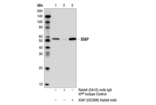 Immunoprecipitation of XIAP from MCF7 cell extracts using Rabbit (DA1E) mAb IgG XP<sup>®</sup> Isotype Control #3900 (lane 2) or XIAP (D2Z8W) Rabbit mAb (lane 3). Lane 1 represents 10% input. Western blot was performed using XIAP (D2Z8W) Rabbit mAb. The conformation specific secondary antibody Mouse Anti-Rabbit IgG (Conformation Specific) (L27A9) mAb #3678 was using to avoid cross reactivity with the IgG heavy chain.