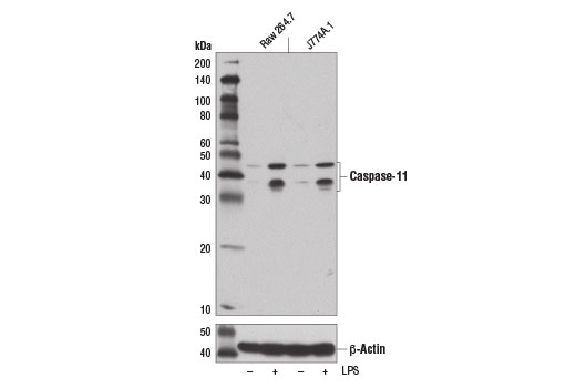 Monoclonal Antibody Cysteine-Type Peptidase Activity