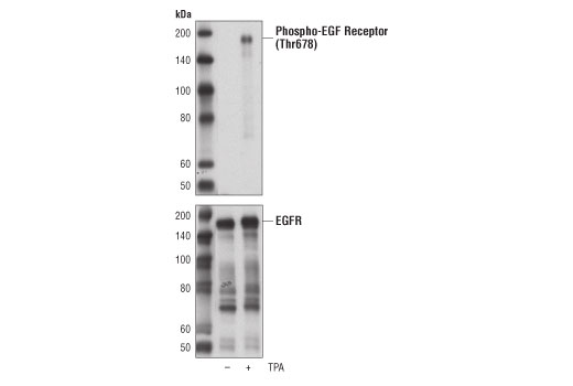 Western blot analysis of extracts from serum-starved BT-20 cells, untreated (-) or treated with TPA #4174 (200 nM, 15 min; +), using Phospho-EGF Receptor (Thr678) Antibody (upper) and EGF Receptor (D38B1) XP<sup>®</sup> Rabbit mAb #4267 (lower).