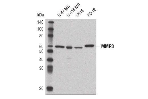 Western blot analysis of extracts from various cell lines using MMP-3 (D7F5B) Rabbit mAb.
