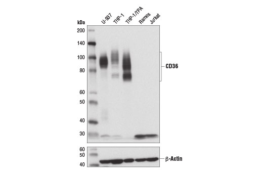 Western blot analysis of extracts from various cell lines using CD36 (D8L9T) Rabbit mAb (upper) and β-Actin (D6A8) Rabbit mAb #8457 (lower). Expression of CD36 was induced in the THP-1 cell line using TPA #4174 (80 nm, 16hrs).