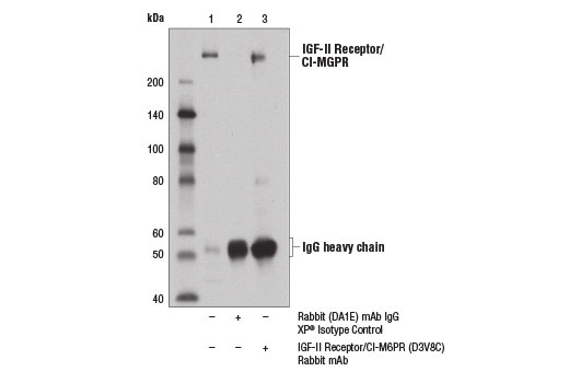 Immunoprecipitation of IGF-II Receptor/CI-M6PR from HeLa cell extracts using Rabbit (DA1E) mAb IgG XP<sup>®</sup> Isotype Control #3900 (lane 2) or IGF-II Receptor/CI-M6PR (D3V8C) Rabbit mAb (lane 3). Lane 1 is 10% input. Western blot analysis was performed using IGF-II Receptor/CI-M6PR (D3V8C) Rabbit mAb.