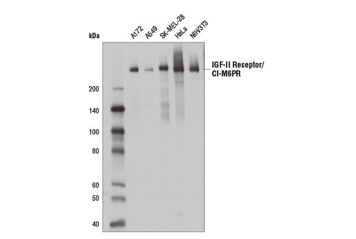 Western blot analysis of extracts from various cells using IGF-II Receptor/CI-M6PR (D3V8C) Rabbit mAb.