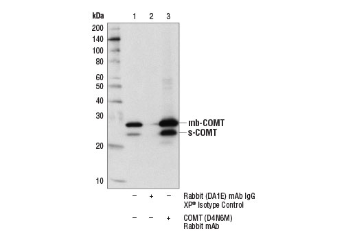 Immunoprecipitation of COMT from K-562 cell extracts using Rabbit (DA1E) mAb IgG XP<sup>®</sup> Isotype Control #3900 (lane 2) or COMT (D4N6M) Rabbit mAb (lane 3). Lane 1 is 10% input. Western blot analysis was performed using COMT (D4N6M) Rabbit mAb.