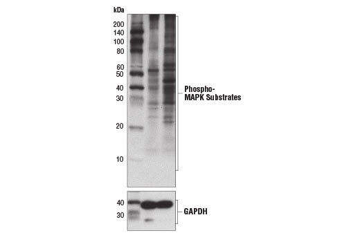 Monoclonal Antibody - Phospho-MAPK Substrates Motif [PXpTP] MultiMab™ Rabbit mAb mix - 100 µl #14378