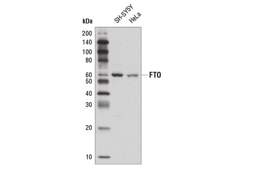 Polyclonal Antibody Western Blotting Dioxygenase Activity