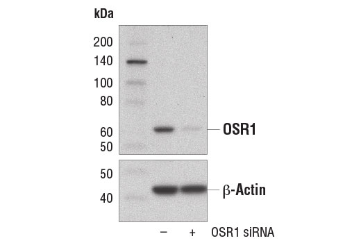 siRNA Activation of Protein Kinase Activity