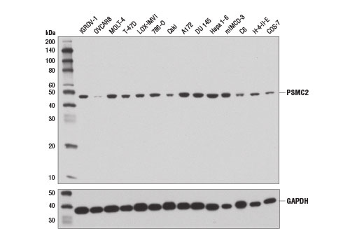 Western blot analysis of extracts from various cell lines using PSMC2 (D5T1T) Rabbit mAb (upper) and GAPDH (D16H11) XP<sup>®</sup> Rabbit mAb #5174 (lower). OVCAR8 cells are reported to express low levels of PSMC2 (7).