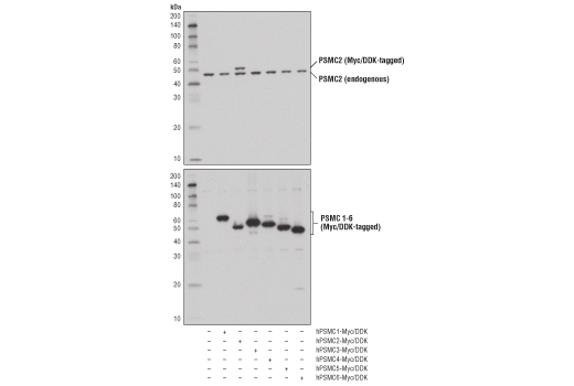 Western blot analysis of extracts from 293T cells, mock transfected (-) or transfected with constructs expressing Myc/DDK-tagged full-length human PSMC1 protein (hPSMC1-Myc/DDK; +), full-length human PSMC2 protein (hPSMC2-Myc/DDK; +), full-length human PSMC3 protein (hPSMC3-Myc/DDK; +), full-length human PSMC4 protein (hPSMC4-Myc/DDK; +), full-length human PSMC5 protein (hPSMC5-Myc/DDK; +), and full-length human PSMC6 protein (hPSMC6-Myc/DDK; +), using PSMC2 (D5T1T) Rabbit mAb (upper) and DYKDDDDK Tag Antibody #2368 (lower).