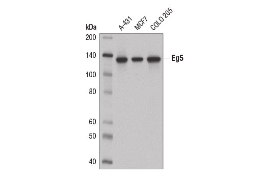 Western blot analysis of extracts from A-431, MCF7, and COLO 205 cells using Eg5 (E1L3W) Rabbit mAb.