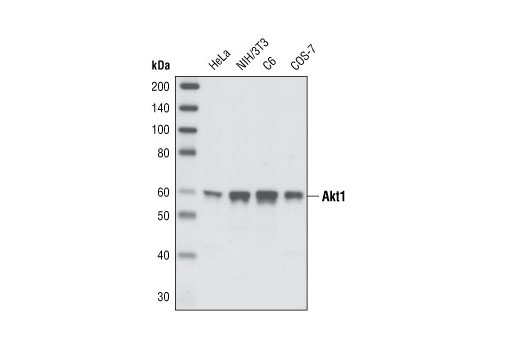 Western blot analysis of extracts from various cell types using Akt1 (C73H10) Rabbit mAb.