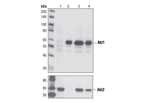 Western blot analysis of extracts from Akt1 (lane 1), Akt2 (lane 2) and Akt3 (lane 3) knock-out mouse embryonic fibroblasts (MEFs) and matched wild-type MEFs (lane 4) using Akt1 (C73H10) Rabbit mAb (upper) and Akt2 Antibody #2962 (lower).