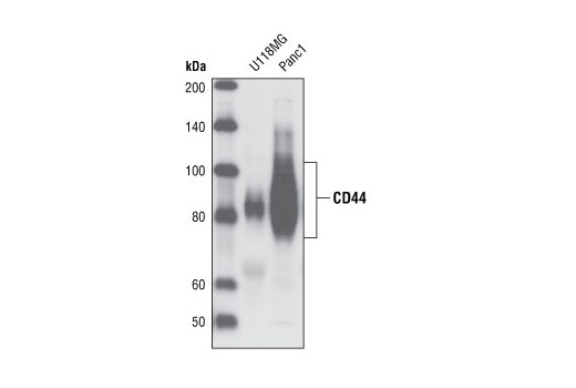 Polyclonal Antibody Healing During Inflammatory Response - count 5