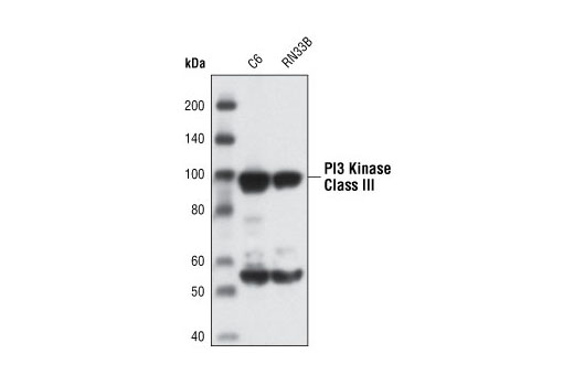 Western blot analysis of extracts from C6 and RN33B cells using PI3 Kinase Class III Antibody.