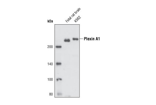 Polyclonal Antibody Semaphorin Receptor Activity