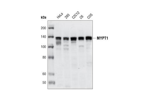 Polyclonal Antibody Phosphatase Regulator Activity