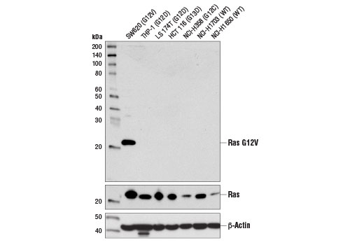 Monoclonal Antibody - Ras (G12V Mutant Specific) (D2H12) Rabbit mAb, UniProt ID P01116, Entrez ID 3845 #14412, Map Kinase Signaling