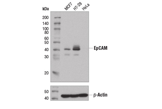 Western blot analysis of extracts from MCF7 (EpCAM positive), HT-29 (EpCAM positive), and HeLa (EpCAM negative) cells using EpCAM (D9S3P) Rabbit mAb (IHC Preferred) (upper) and β-Actin (D6A8) Rabbit mAb #8457 (lower).