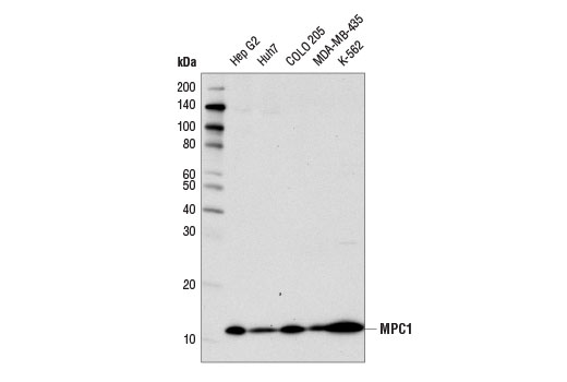 Western blot analysis of extracts from various cell lines using MPC1 (D2L9I) Rabbit mAb.