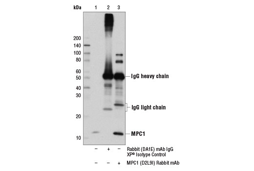 Immunoprecipitation of MPC1 from Huh7 cell extracts using Rabbit (DA1E) mAb IgG XP<sup>®</sup> Isotype Control #3900 (lane 2) or MPC1 (D2L9I) Rabbit mAb (lane 3). Lane 1 is 10% input. Western blot analysis was performed using MPC1 (D2L9I) Rabbit mAb.