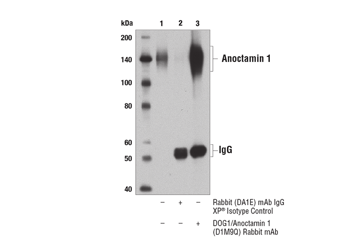 Immunoprecipitation of anoctamin 1 from HT-29 cell extracts using Rabbit (DA1E) mAb IgG XP<sup>®</sup> Isotype Control #3900 (lane 2) or Anoctamin 1 (D1M9Q) Rabbit mAb (lane 3). Lane 1 is 10% input. Western blot analysis was performed using Anoctamin 1 (D1M9Q) Rabbit mAb.
