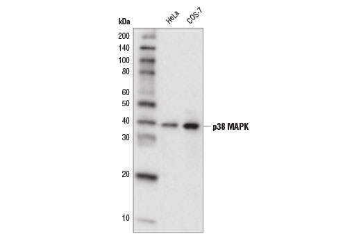 Western blot analysis of extracts from HeLa and COS-7 cells using p38 MAPK (D13E1) XP<sup>®</sup> Rabbit mAb (HRP Conjugate).