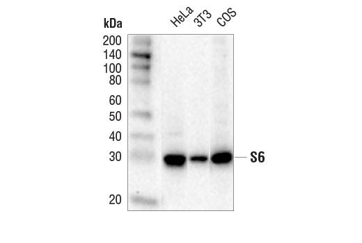 Monoclonal Antibody - S6 Ribosomal Protein (5G10) Rabbit mAb(HRP Conjugate), UniProt ID P62753, Entrez ID 6194 #14467 - #14467