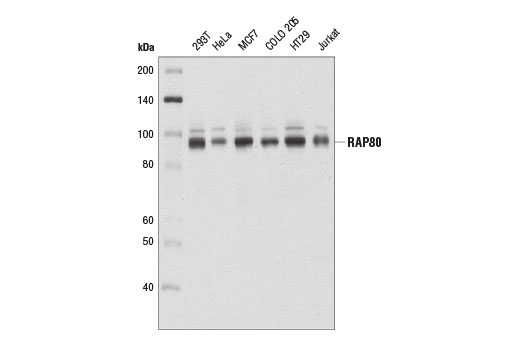 Western blot analysis of extracts from various cell lines using RAP80 (D1T6Q) Rabbit mAb.