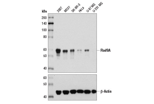 Western blot analysis of extracts from various cell lines using Rad9A (D2J4P) Rabbit mAb (upper) and β-Actin (D6A8) Rabbit mAb #8457 (lower).