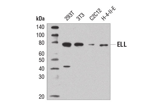 Western blot analysis of extracts from various cell lines using ELL (D7N6U) Rabbit mAb.