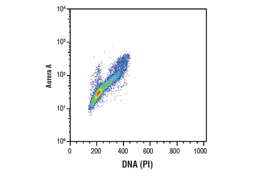 Flow cytometric analysis of Jurkat cells using Aurora A (D3E4Q) Rabbit mAb and Propidium Iodide (PI)/RNase Staining Solution #4087 to measure DNA content. Anti-rabbit IgG (H+L), F(ab')<sub>2</sub> Fragment (Alexa Fluor<sup>®</sup> 488 Conjugate) #4412 was used as a secondary antibody.
