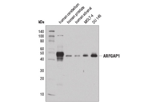 Western blot analysis of extracts from various tissues and cell lines using ARFGAP1 (D9A4V) Rabbit mAb.