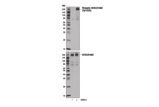 Western blot analysis of extracts from T-47D cells, untreated (-) or treated (+) with Human Neuregulin-1 (hNRG-1) #5218 (100 ng/ml, 5 min), using Phospho-HER3/ErbB3 (Tyr1328) (E1J1T) Rabbit mAb (upper) and HER3/ErbB3 (1B2E) Rabbit mAb #4754 (lower).