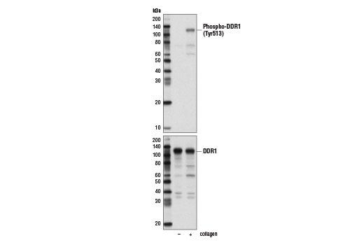 Monoclonal Antibody Western Blotting Skin Development