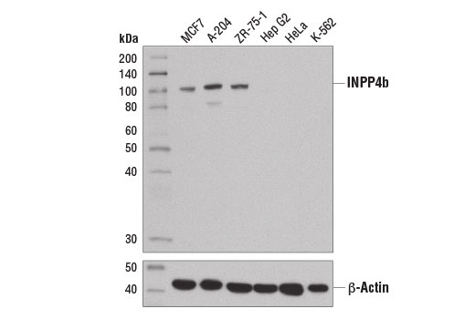 Western blot analysis of extracts from various cell lines using INPP4b (D9K1B) XP<sup>®</sup> Rabbit mAb (upper) and β-Actin (D6A8) Rabbit mAb #8457 (lower).