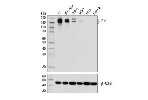 Western blot analysis of extracts from various cell lines using Ret (E1N8X) XP<sup>®</sup> Rabbit mAb (upper) and β-Actin (D6A8) Rabbit mAb #8457 (lower).