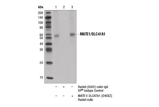 Immunoprecipitation of MATE1 from Hep G2 cell extracts using Rabbit (DA1E) mAb IgG XP<sup>®</sup> Isotype Control #3900 (lane 2) or MATE1/SLC47A1 (D4C6Z) Rabbit mAb (lane 3). Lane 1 is 10% input. Western blot analysis was performed using MATE1/SLC47A1 (D4C6Z) Rabbit mAb and Mouse Anti-rabbit IgG (Conformation Specific) (L27A9) mAb (HRP Conjugate) #5127.