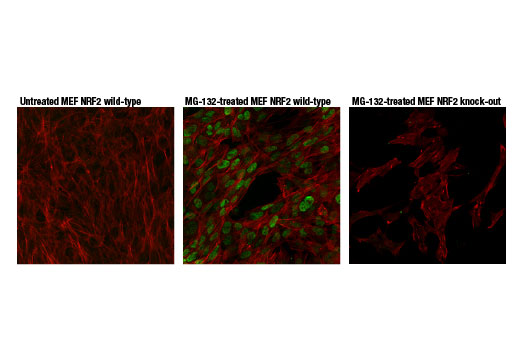 Confocal immunofluorescent analysis of MEF NRF2 wild-type cells, untreated (left) or treated with MG-132 #2194 (10 μM, 8 hr; center) and MEF NRF2 knock-out cells treated with MG-132 #2194 (10 μM, 8 hr; right), using NRF2 (D9J1B) Rat mAb (IF Specific) (green pseudocolor). Actin filaments were labeled with Alexa Fluor<sup>®</sup> 488 Phalloidin #8878 (red pseudocolor).