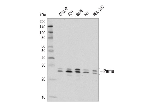 Western blot analysis of extracts from various cell lines using Puma (E1S7A) Rabbit mAb (Rodent Specific).