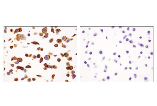Immunohistochemical analysis of paraffin-embedded SK-BR-3 (left) and NCI-H1299 (right) cell pellets using B7-H4 (D1M8I) XP<sup>®</sup> Rabbit mAb.