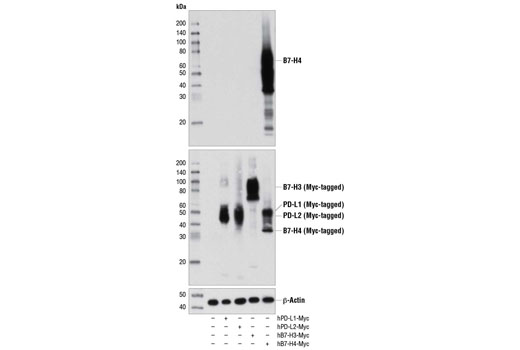Western blot analysis of extracts from COS-7 cells, mock transfected (-) or transfected with a construct expressing Myc-tagged full-length human PD-L1, PD-L2, B7-H3, or B7-H4 protein (as indicated), using B7-H4 (D1M8I) XP<sup>®</sup> Rabbit mAb (upper), Myc-Tag (71D10) Rabbit mAb #2278 (middle), and β-Actin (D6A8) Rabbit mAb #8457 (lower).