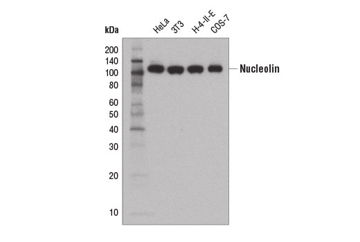 Western blot analysis of extracts from various cell lines using Nucleolin (D4C7O) Rabbit mAb.