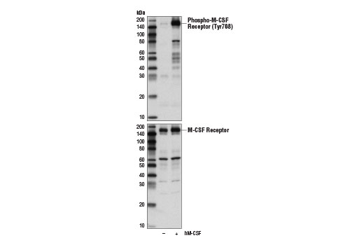 Western blot analysis of extracts from GDM-1 cells, serum-starved overnight and untreated (-) or treated with Human Macrophage Colony Stimulating Factor (hM-CSF) #8929 (100 ng/ml, 5 min; +), using Phospho-M-CSF Receptor (Tyr708) (D5F4Y) Rabbit mAb (upper) and M-CSF Receptor Antibody #3152 (lower).