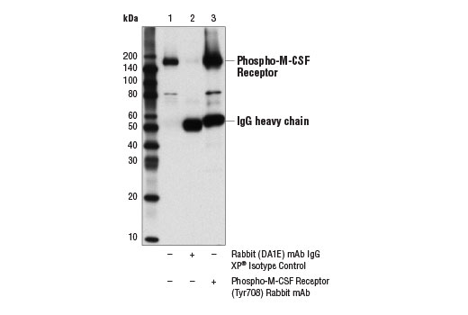 Immunoprecipitation of phospho-M-CSF receptor (Tyr708) from serum-starved GDM-1 cell extracts treated with Human Macrophage Colony Stimulating Factor (hM-CSF) #8929 (100 ng/ml, 5 min; +), using Rabbit (DA1E) mAb IgG XP<sup>®</sup> Isotype Control #3900 (lane 2) or Phospho-M-CSF Receptor (Tyr708) (D5F4Y) Rabbit mAb (lane 3). Lane 1 is 10% input. Western blot analysis was performed using Phospho-M-CSF Receptor (Tyr708) (D5F4Y) Rabbit mAb.